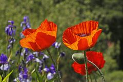 Orientalische Mohnblume im Frühjahr, Papaver orientale Stockfotografie