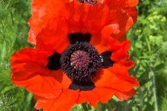 Orientalische Mohnblume im Rot Lizenzfreie Stockbilder