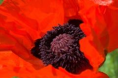 Orientalische Mohnblume im Rot Stockfotografie