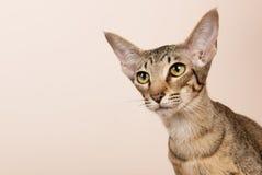 Orientalische Shorthair Katze Lizenzfreie Stockbilder