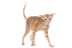 Orientalische siamesische Katze Lizenzfreies Stockbild