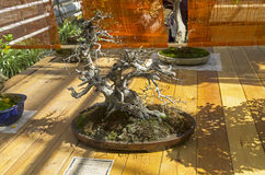 Orientalische Weißbuche - Bonsai im Stil Stockbild