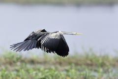 Orientalischer Darter, der über Sumpf fliegt Stockfotografie