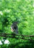 Orientalischer Elster-Robin-Vogel Stockfoto