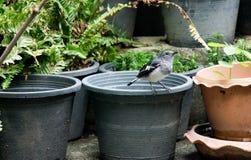 Orientalischer Elster-Robin-Vogel Lizenzfreies Stockfoto