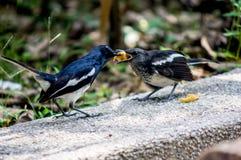 Orientalischer Elster-Robin-Vogel lizenzfreies stockbild