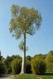 Orientalischer flacher Baum Lizenzfreie Stockfotografie
