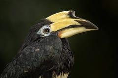 Orientalischer Gescheckt-Hornbill - Anthracoceros-albirostris stockbild