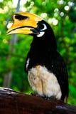 Orientalischer gescheckter Hornbill Stockbilder