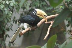 Orientalischer gescheckter Hornbill Stockbild