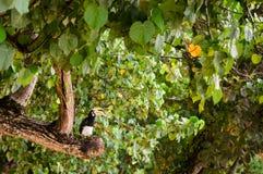 Orientalischer gescheckter Hornbill, Phuket, Thailand lizenzfreie stockbilder