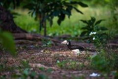 Orientalischer gescheckter Hornbill, Thailand Lizenzfreie Stockfotografie