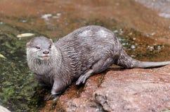 Orientalischer klein-gekratzter Otter Lizenzfreies Stockbild