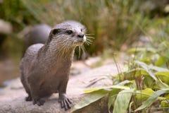 Orientalischer Klein-gekratzter Otter Stockfoto