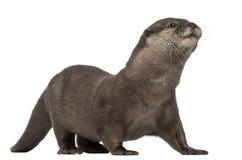 Orientalischer klein-gekratzter Otter, Amblonyx Cinereus lizenzfreie stockbilder