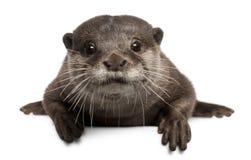 Orientalischer klein-gekratzter Otter, Amblonyx Cinereus Stockbild
