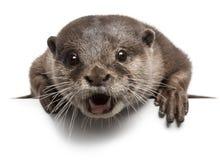 Orientalischer klein-gekratzter Otter, Amblonyx Cinereus stockfotografie