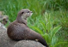 Orientalischer Klein-Gekratzter Otter, der auf Protokoll sitzt Lizenzfreies Stockfoto