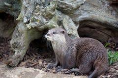 Orientalischer Klein-Gekratzter Otter durch Baumstumpf Stockbild