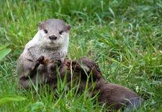 Orientalischer Klein-Gekratzter Otter im Gras Stockfotografie