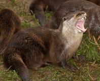 Orientalischer kurzer gekratzter Otter lizenzfreie stockfotos