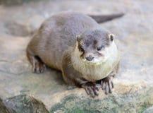 Orientalischer oder asiatischer kleiner gekratzter Otter Lizenzfreie Stockfotos
