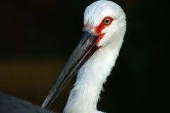 Orientalischer weißer Storch Lizenzfreie Stockfotos