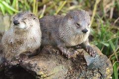 Orientalisches kurzes gekratztes Otter aonyx cinerea stockbilder