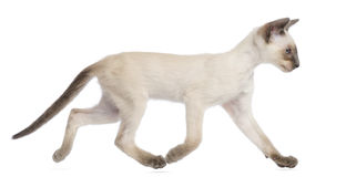 Orientalisches Shorthair Kätzchen, 9 Wochen alt, Betrieb Lizenzfreie Stockfotos