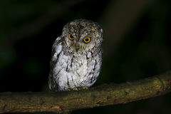 Orientalisches sunia Scops Owl Otus Lizenzfreie Stockbilder