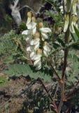 Orientalisk buske Milkvetch arkivfoto