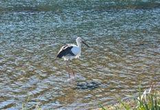 Orientalisk Ciconiaboyciana 23 för vit stork fotografering för bildbyråer