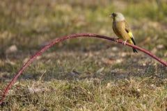 Orientalisk greenfinch Royaltyfri Fotografi