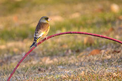 Orientalisk greenfinch Fotografering för Bildbyråer