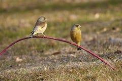 Orientalisk greenfinch Royaltyfria Bilder