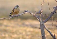 Orientalisk greenfinch Royaltyfri Bild