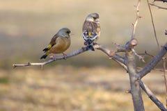 Orientalisk greenfinch Arkivfoto