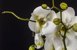 orientalisk isolerad lilja Arkivfoton