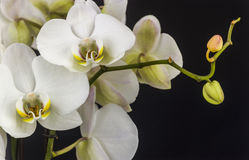 orientalisk isolerad lilja Arkivfoto
