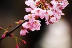 Orientalisk körsbär Fotografering för Bildbyråer