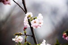 Orientalisk körsbär Royaltyfria Bilder