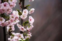 Orientalisk körsbär Arkivfoton