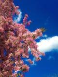 Orientalisk körsbär i vår Arkivfoton