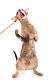 orientalisk katt Royaltyfri Fotografi