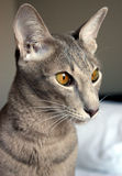orientalisk katt Royaltyfria Foton