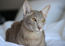 orientalisk katt Arkivfoton