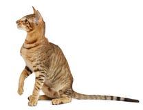 Orientalisk katt på vit bakgrund Arkivfoton