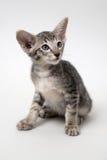 Orientalisk kattunge för söt grå strimmig katt Arkivfoton