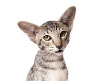 Orientalisk kattungenärbild för uppmärksam allvarlig strimmig katt som ser in i kamera Royaltyfri Bild