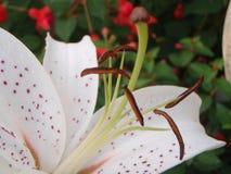 orientalisk lilja Arkivbild